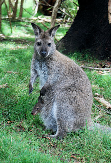 Australian Animals Marsupials Bennetts Wallaby Red Necked Wallaby
